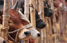 Kurbani Cattle Market in Dhaka